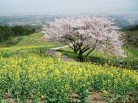 カメラさんぽ♪満開の桜と菜の花の競演 - うふふの時間