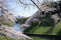 千鳥ヶ淵~紀尾井町 の桜 - オートクチュールの旅日記