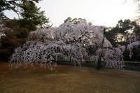 桜巡り2018@御所・近衛邸跡の糸桜 其の三 - デジタルな鍛冶屋の写真歩記