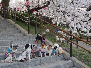 『お花見散歩』のお知らせ - 花教室 maiko