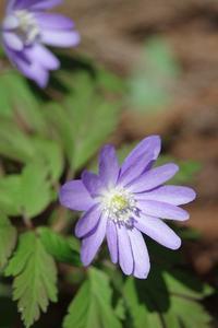 春の花が咲き始めた - 川の流れのカンツカブログ