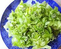 またまた収穫~フキノトウ♬ - 軽井沢プリフラdiary