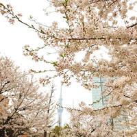錦糸町公園でお花見 - 表参道・銀座ネイルサロンtricia BLOG