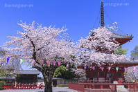 喜多院の桜 川越市 - 風景写真家 鐘ヶ江道彦のフォトブログ