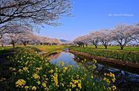 草場川の桜並木 - A  B  C