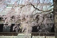名もない桜 - ひとりでこっそり