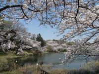 鶴見区の桜を堪能する旅 - 神奈川徒歩々旅