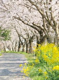桜のトンネル - いつかみたソラ