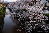 自転車通勤途中の桜 - 撃沈 Photo Diary