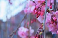 桜は日本の心 - 美は観る者の眼の中にある