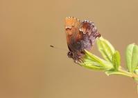 スプリング・エフェメラルを探して - 公園昆虫記