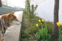 チューリップと桜 - yamatoのひとりごと