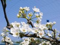 熊本梨 本藤果樹園 新高の花咲く様子 最後に収穫を迎える新高が最初に咲きます! - FLCパートナーズストア
