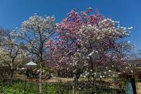 木蓮がある風景 - あだっちゃんの花鳥風月