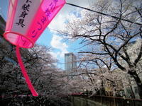 3月23日*満開直前の目黒川の桜・2018 - ぴきょログ~軽井沢でぐーたら生活~