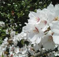 春みちる、花みちる… - 侘助つれづれ
