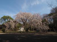 六義園の枝垂れ桜を楽しみました。(撮影:3月27日) - ご無沙汰写真館