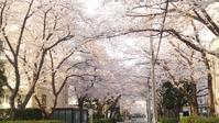 珍しく桜を美しいと思う - 毎日がワイン日和