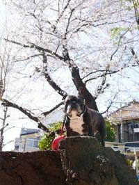 SAKURA - ichibey日々の記録