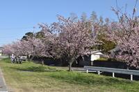 ✿桜見学✿ - ケアホーム穂の香(ほのか)、ケアホームあや音(あやね)、デイサービス燈いろ(といろ)の日常