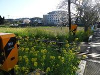 いすみ鉄道沿線の菜の花 - 柴まみママの大多喜便り