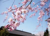 sakura - きっちん日和