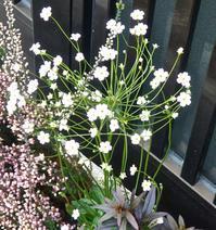 5ミリほどの小さな花です,アンドロサセ・スターダスト - 楽餓鬼
