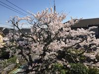 早くも桜、散り始めました。 - わたしの好きな物