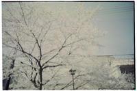 + LOMOSAKURA + - -風が唄った日-(カメラを持って)