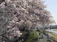 八王子 浅川でプチ花見♪ - よく飲むオバチャン☆本日のメニュー