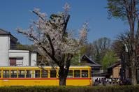 桜 - akiy's  photo