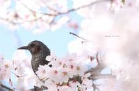 桜も似合うねヒヨちゃん。 - Season of petal