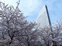 まさに桜満開の春!横浜みなとみらい&武蔵野市 - Dolphin Dreams
