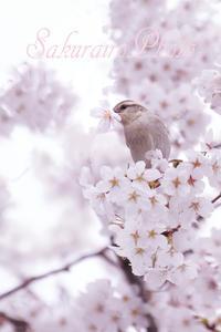 桜色 photo - Present from paseri