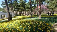 水仙のお花見 inひたちなか海浜公園 - のんびりタルトパイ日記