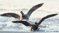 コクガン - 北の野鳥たち