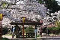 今朝の桜③ - グル的日乗