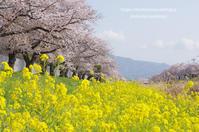 佐奈川の桜 - 気ままなたわし