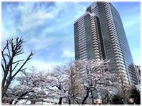 桜はとってもデリケート、大事にしたいね。。。 - nazunaニッキ