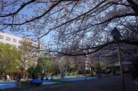 築地川公園の桜を抜けて - もるとゆらじお