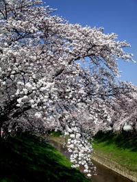 桜2018 - リズムのある暮らし