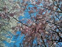 名残惜しい満開の桜たち。 - LeCaretteルカレット アトリエの日々のこと