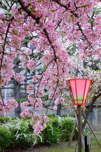 一足お先に「桜の通り抜け」@2018-03-31 - (新)トラちゃん&ちー・明日葉 観察日記