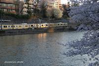 黄色い電車で桜。 - *ぷるはあと*