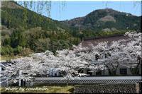 桜満開山陰道 - 北海道photo一撮り旅