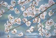 桜狩り - 日々の欠片を紡ぐ日々