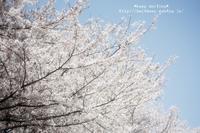 桜三昧♪ - *keep smiling*