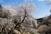 桜が満開の多摩森林科学園へ - 四季彩の部屋Ⅱ
