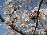 yamatoと桜 - yamatoのひとりごと