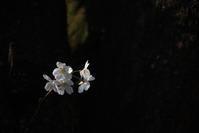 ご近所の桜 - (=^・^=)の部屋 写真館